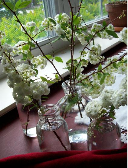 Cut Spirea by Window