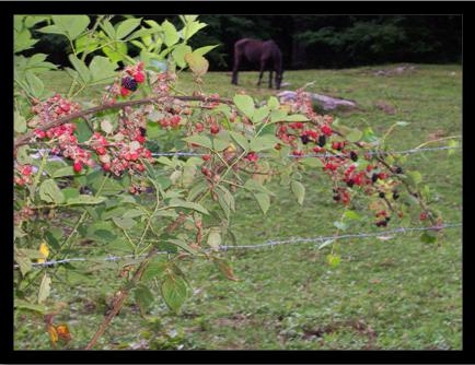 Ripening Blackberries and Local Horse